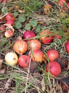mabon apples